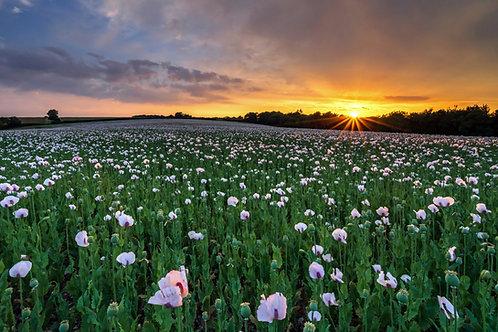 Durweston Opium Poppies