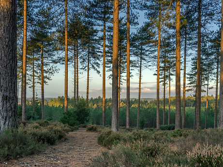Wareham Path & Pines