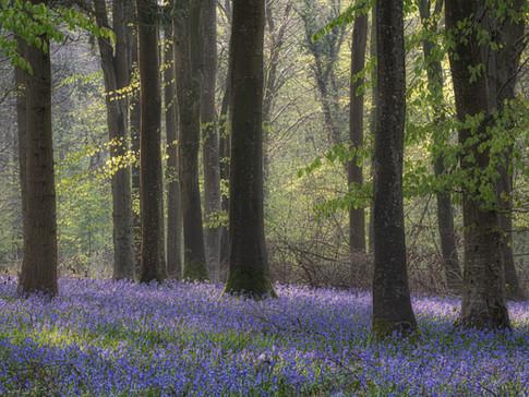 Bluebells in North Dorset