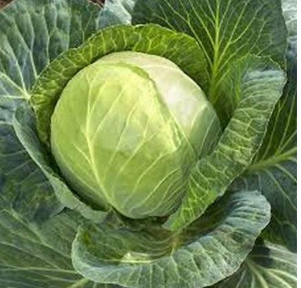 Primo green cabbage
