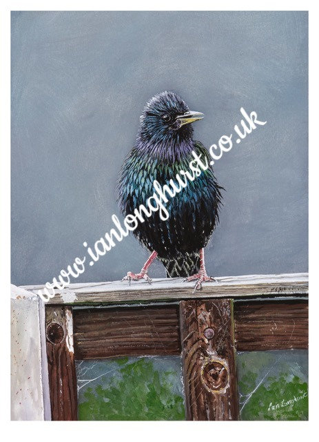 Male Starling