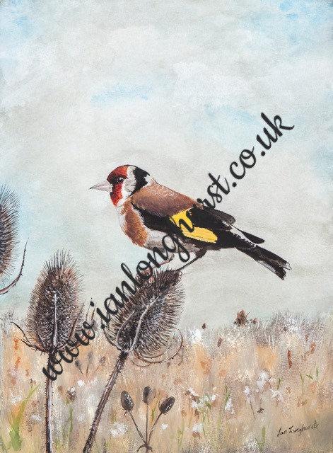 Goldfinch on teazle