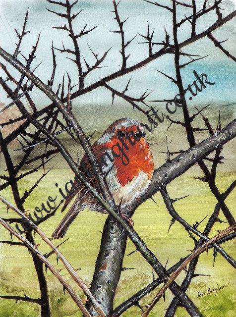Robin in blackthorn hedge