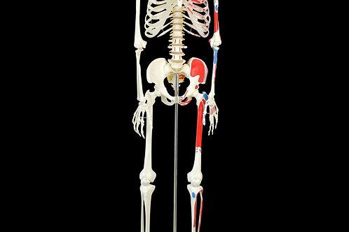Anatomie Skelett Modell 182 cm