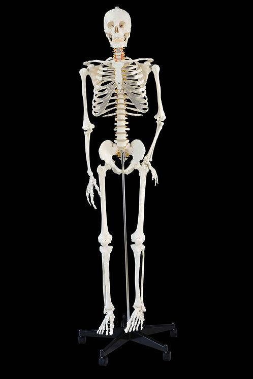 Anatomie Skelett Modell 181 cm