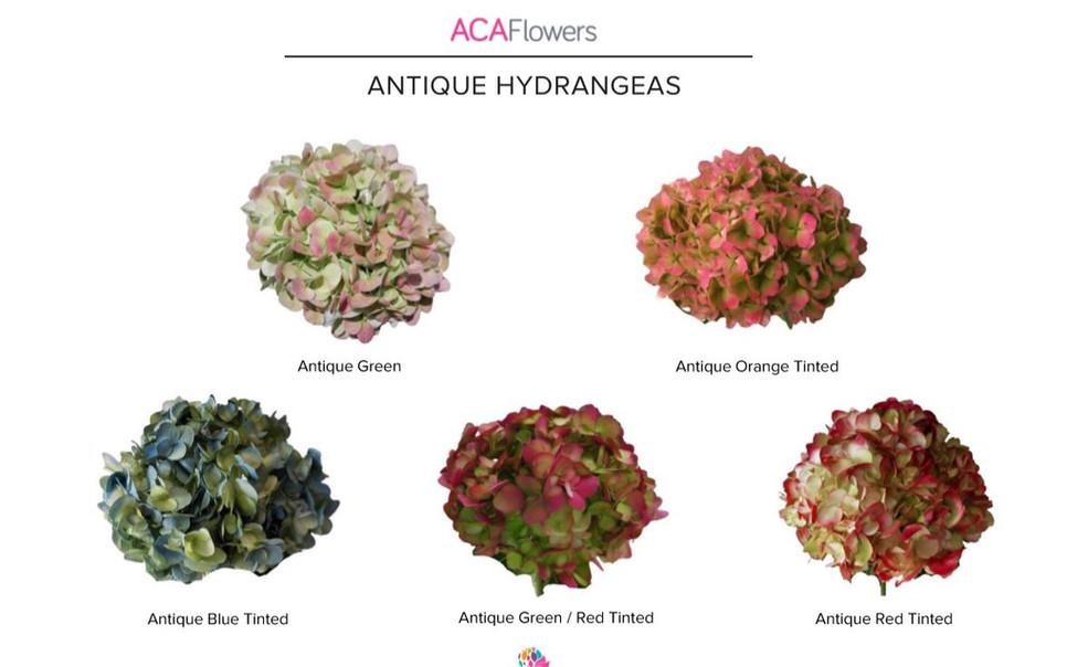Natural Antique Hydrangeas