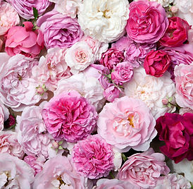 Background image of pink french roses..j
