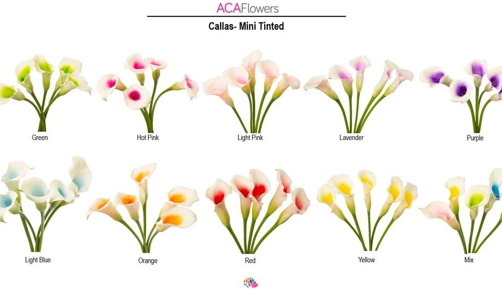 Painted Mini Callas