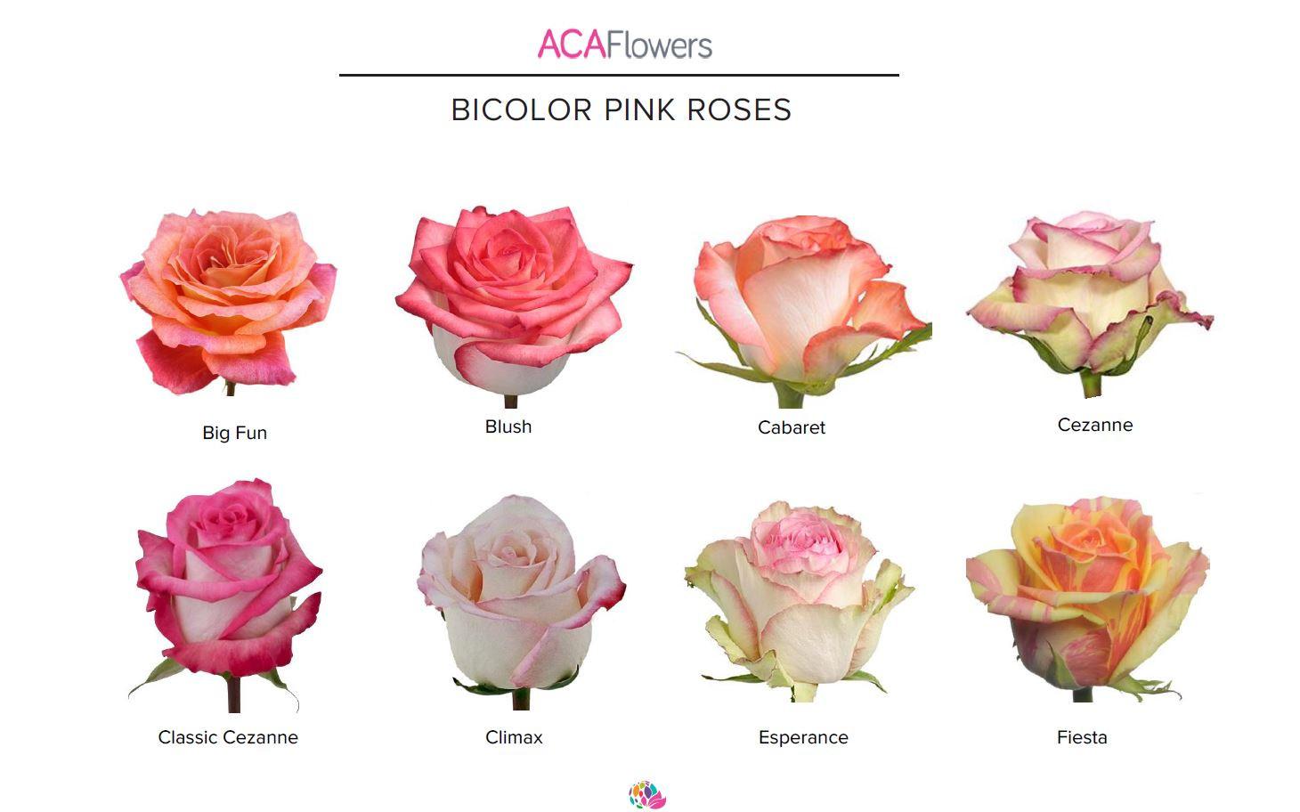 Bi-Color Pink