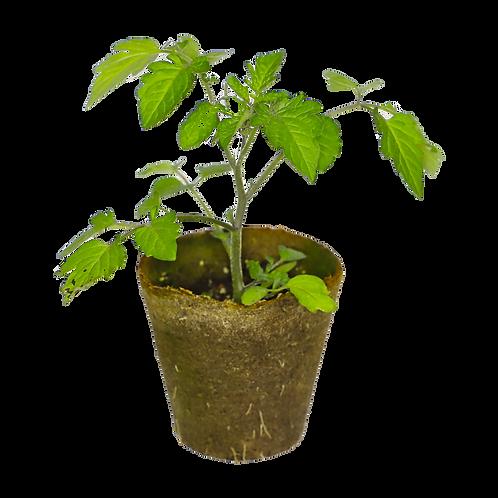 Pomodoro Datterino (10 piantine)