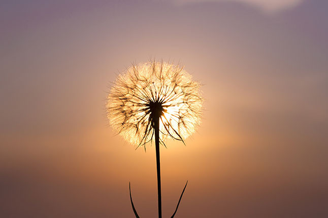dandelion background.jpg
