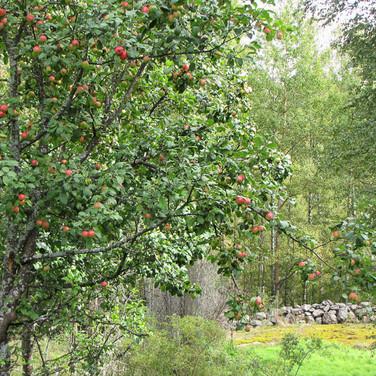 Omenapuu, Tuire Kaitila-Tarvainen