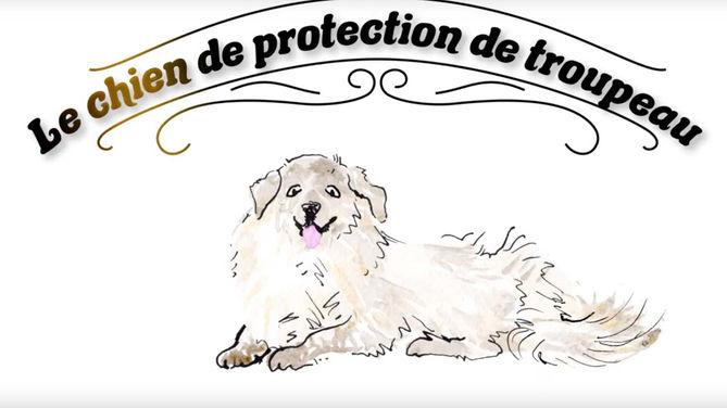 Les chiens de protection des troupeaux