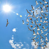 a group of flying seagull birds with one individual bird going in the opposite direction with blue s