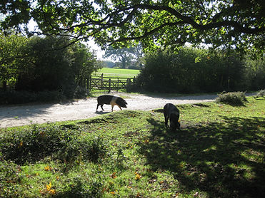 The Autumn Pannage Season in the New Forest national park pigs are allowed out onto the open forest