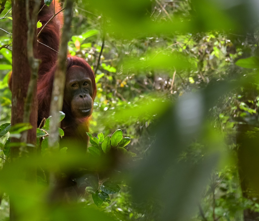 Endangered orangutans are losing millions of hectares of their habitats to palm oil plantations.