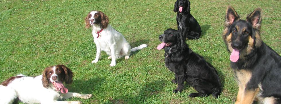 Coldham dogs & Spaniels.JPG