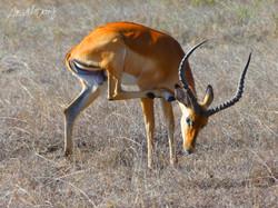 impala scratch