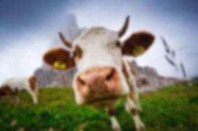 коровы фото.jpg
