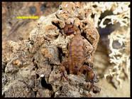 Centruroides nitidus