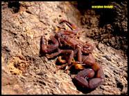 Babycurus jacksoni, (dark)