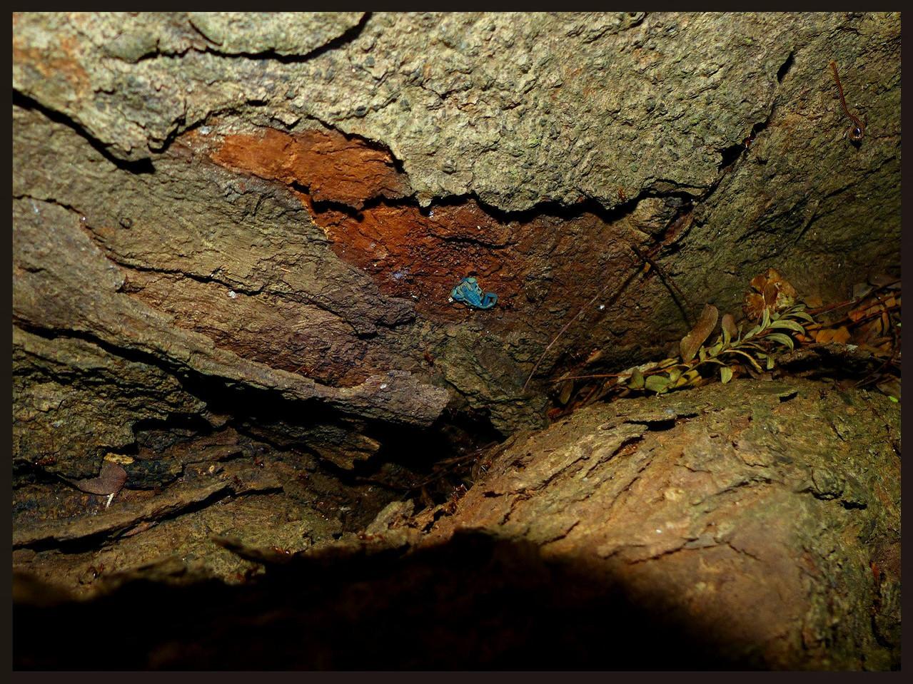 Reddyanus loebli