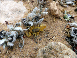 Scorpion / Buthus sp.