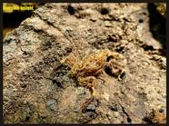 Isometrus maculatus