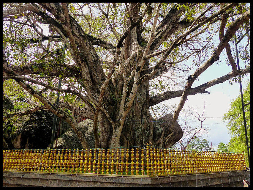 Very old Bodhitree