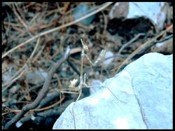 Empusa fasciata, (juvenile)