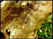 Humbertiella sp.