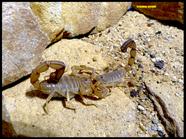 AndroAndroctonus aff. amoreuxi, (Clade 2)ctonus cf. amoreuxi, (Clade 2)