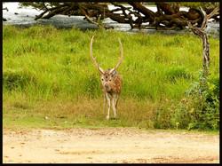 Sambar deer, male