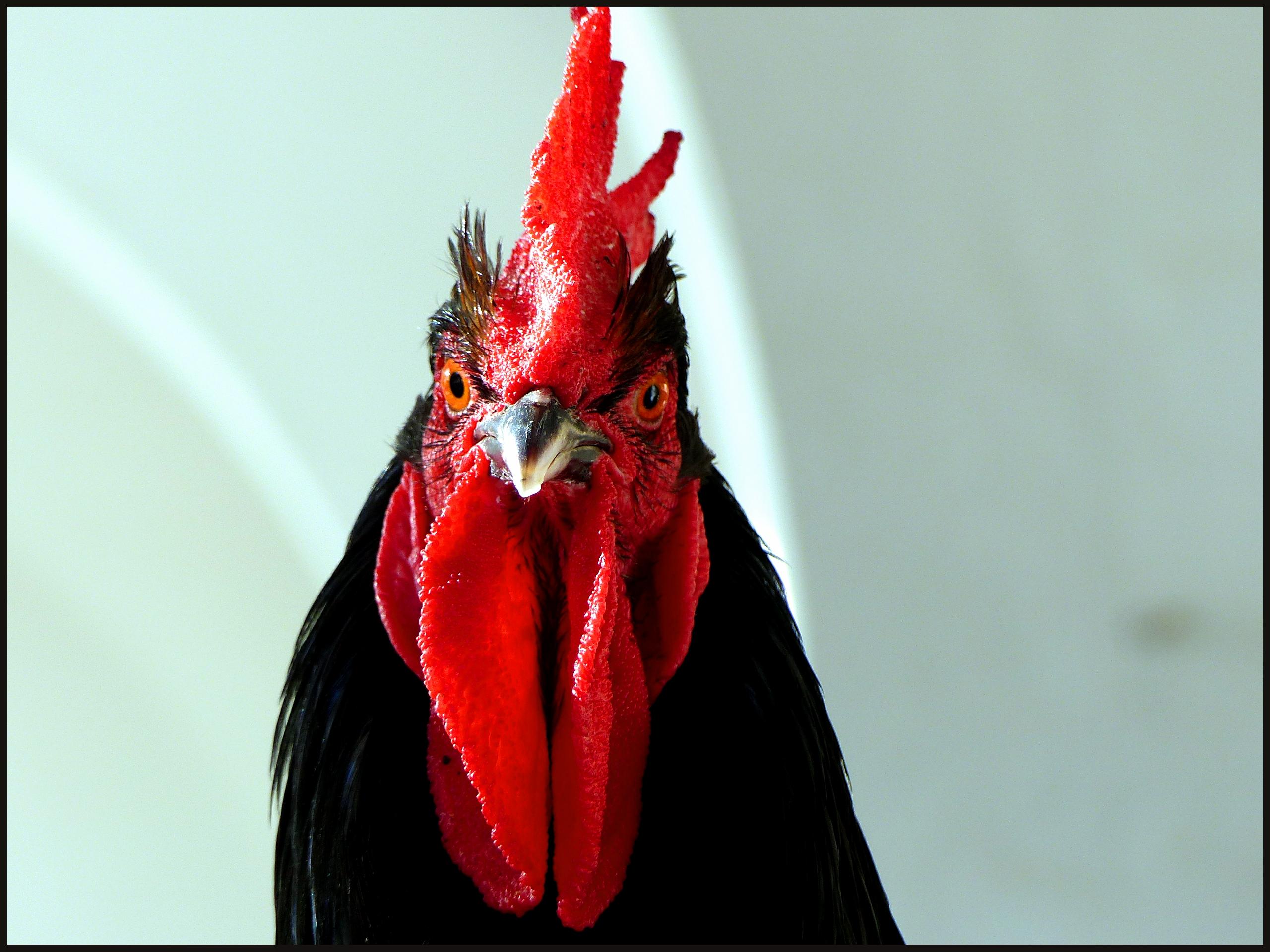 Security Chicken