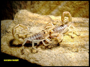 Buthacus arenicola