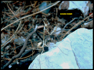 Empusa fasciata
