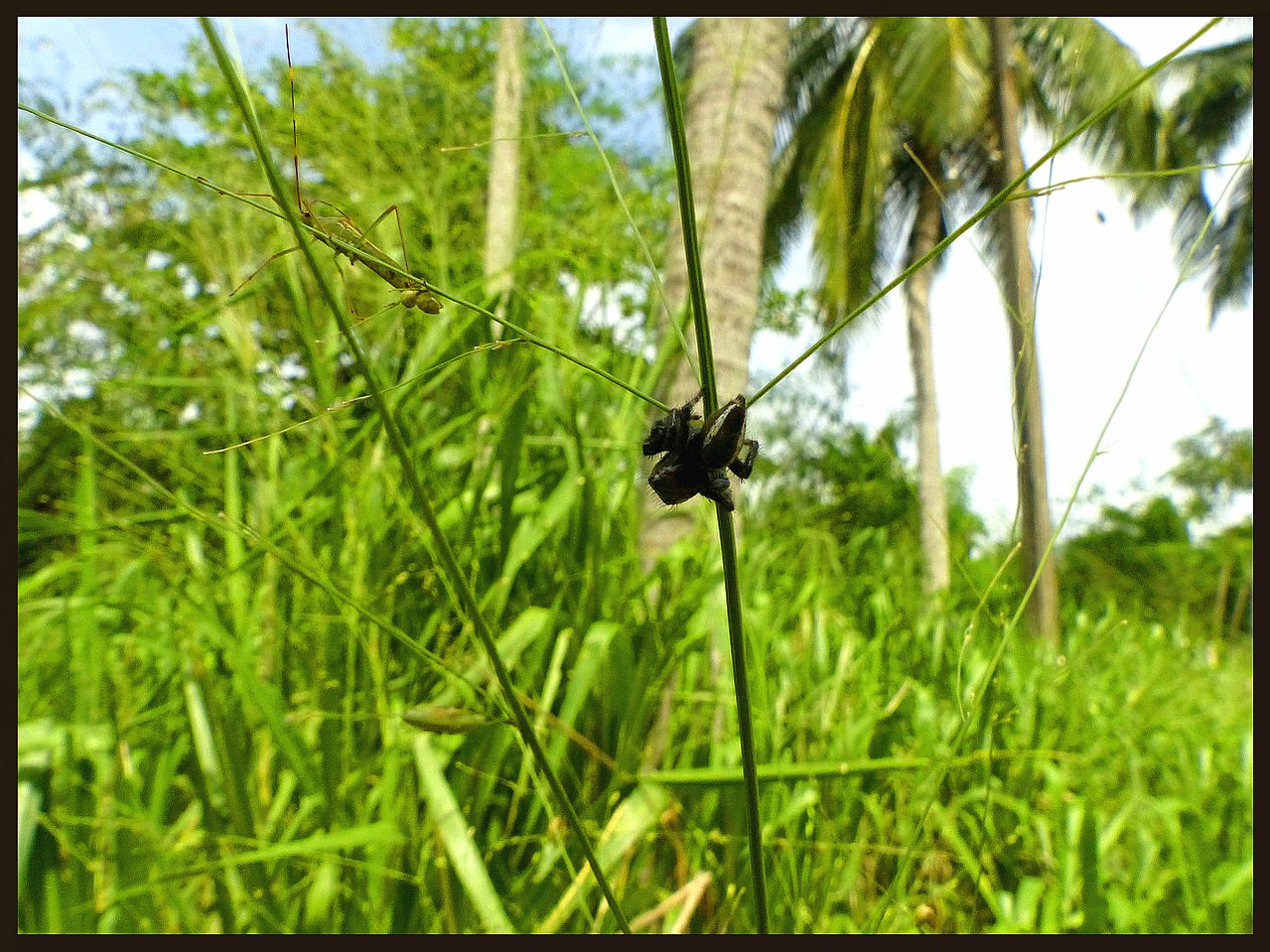 Carrhotus cf. viduus