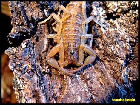 Centruroides balsasensis
