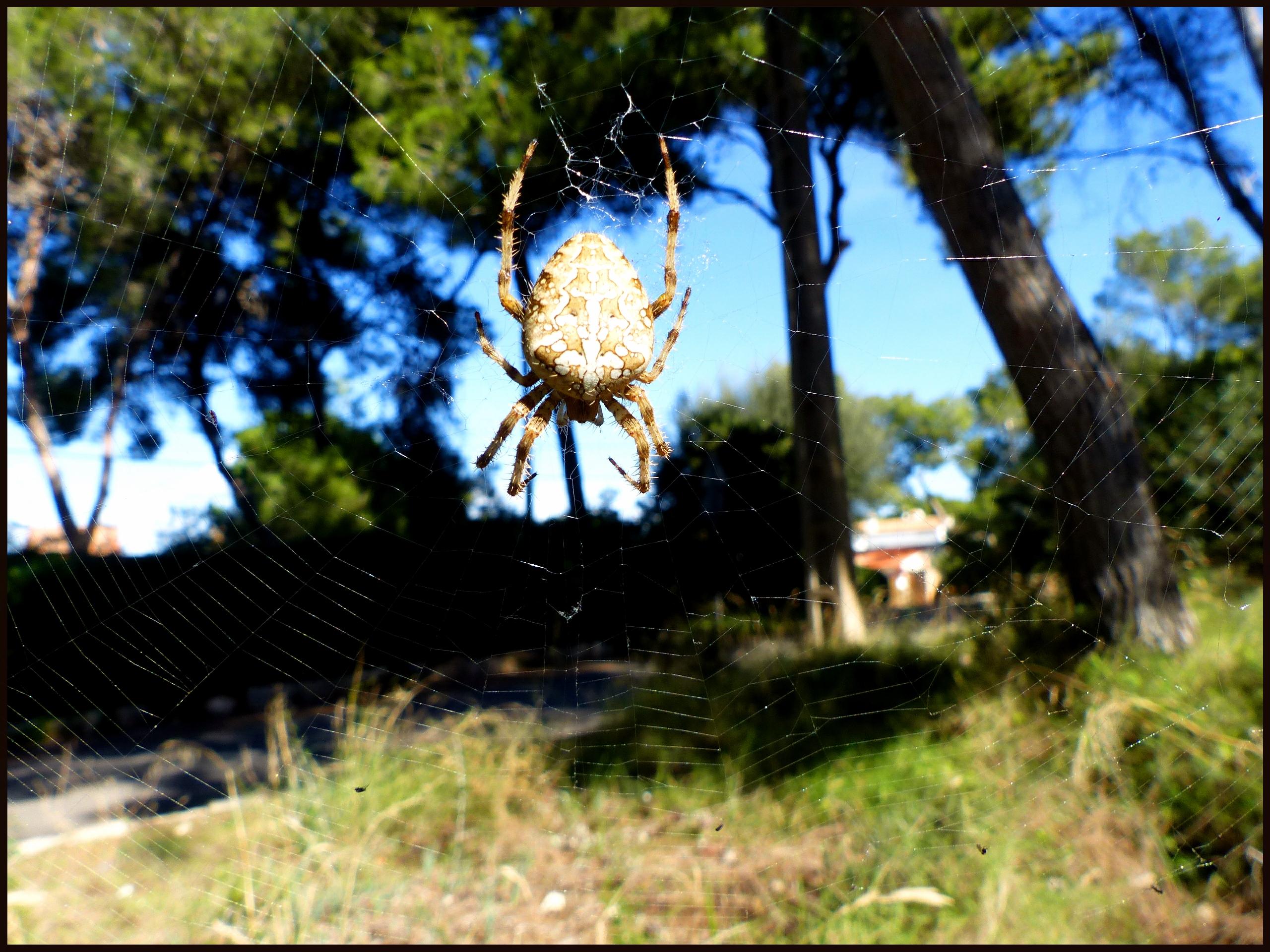 Diadem spider