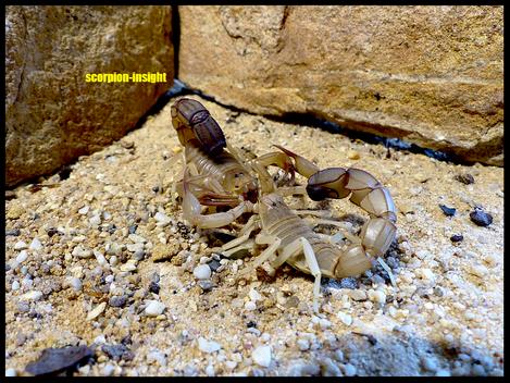 Androctonus australis, (libycus)