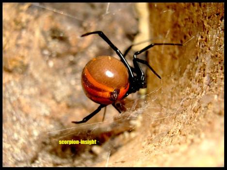 Latrodcetus mactans