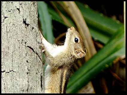 Funambulus sp.,(palm squirrel)