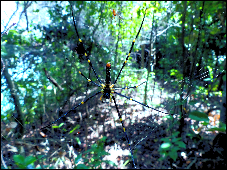 Silk orb-weaver, Nephila sp.