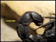 Androctonus mauritanicus