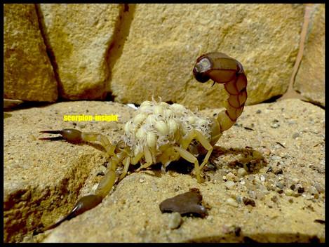 Androctonus australis, (hector)