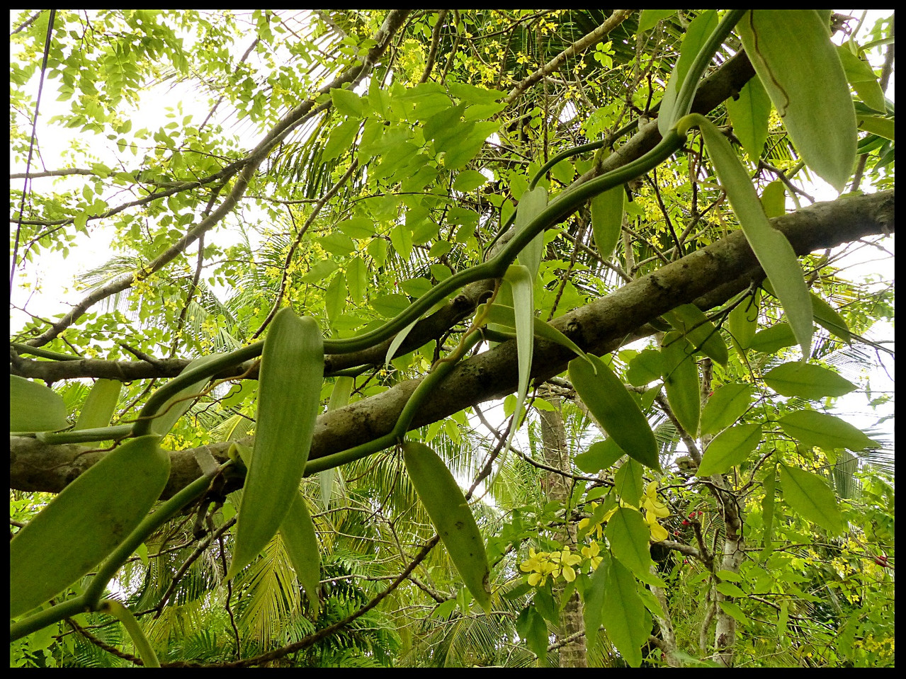 Plant of Vanilla