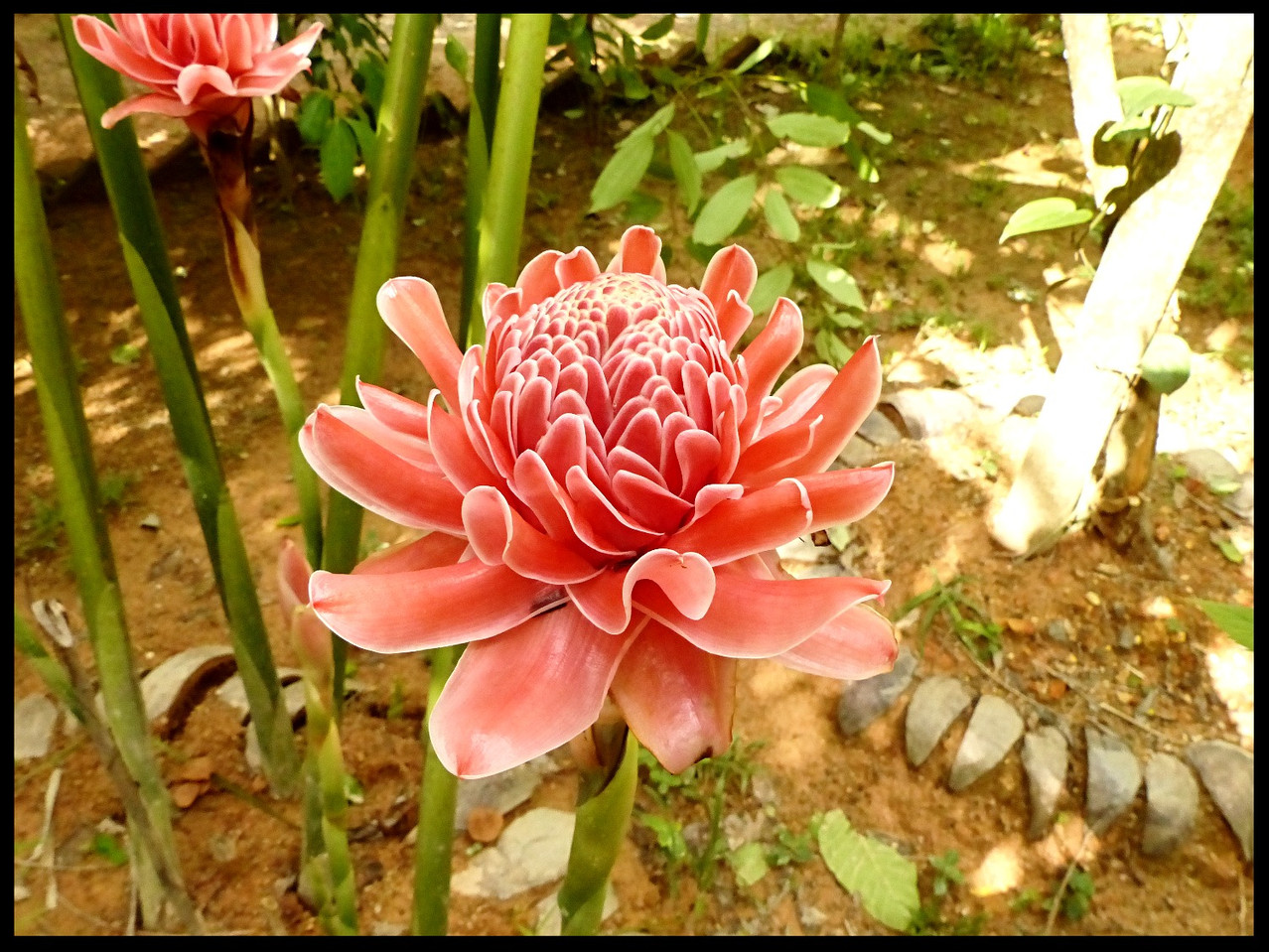 Torch Ginger, (Very rare)