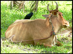 Crow on a Cow