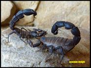 Androctonus baluchicus, (dark)