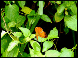 Tamil yeoman, Butterfly
